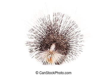 Indian crested Porcupine on white - Indian crested Porcupine...