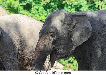 Indian elephant closeup