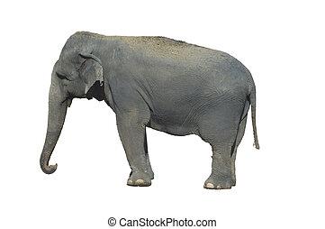 Indian Elephant isolated