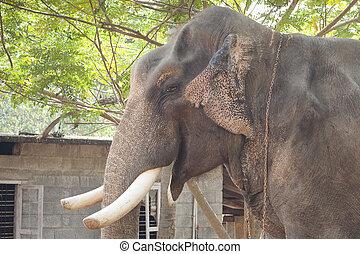 Indian elephant taken in Kerala, India