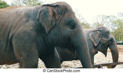 Indian elephants eat grass behind a fence at zoo - Indian...