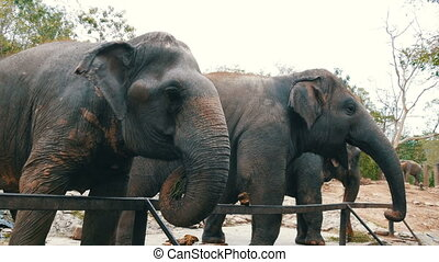 Indian elephants eat grass behind a fence