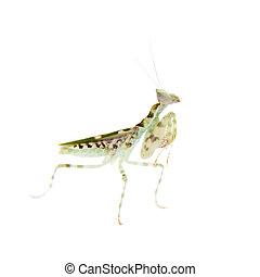 Indian flower praying mantis, Creobroter gemmatus, on white...