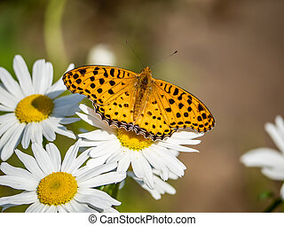 Indian fritillary butterfly on a white daisy 1