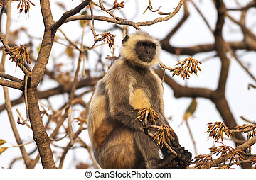 Indian Gray langurs or Hanuman langurs Monkey (Semnopithecus ent