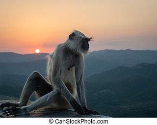 Indian Langur Monkeys Sitting at Sunset