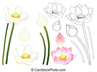 Indian lotus Outline