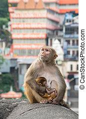 Indian Macaque monkeys at Laxman Jhula bridge, Rishikesh, ...
