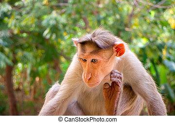 Indian macaques, bonnet macaques, or (lat. Macaca radiata).