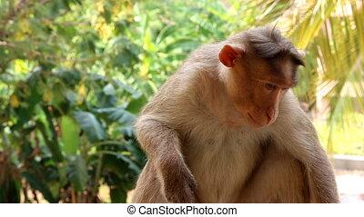 Indian macaques, bonnet macaques, or (lat. Macaca radiata)....