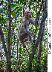 Indian macaques in dry season. Illustration of an arboreal...