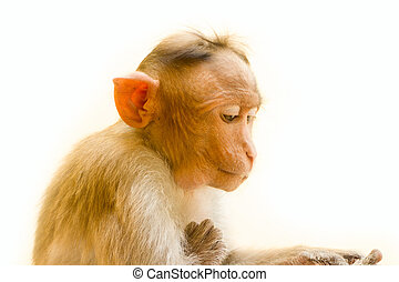 one animal, a young monkey - Indian macaques lat. Macaca...