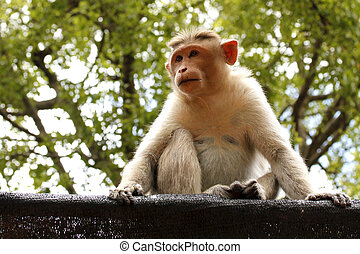 An indian female monkey sitting and staring