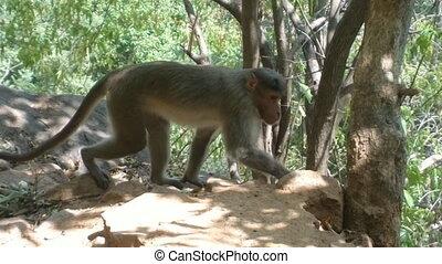 Indian Monkeys on sacred mountain Thiruvannamalai - Indian...