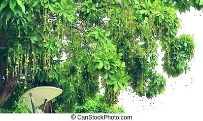 Indian Oak, Freshwater Mangrove, Barringtonia acutangula ball on branch