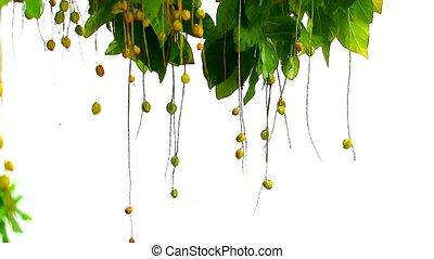 Indian Oak, Freshwater Mangrove, Barringtonia acutangula in garden