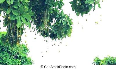 Indian Oak, Freshwater Mangrove, Barringtonia acutangula seed ball