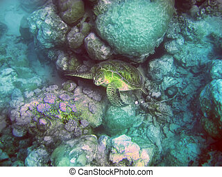 Indian ocean. Underwater world- Turtle in stones. Mauritius.