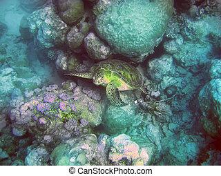 Indian ocean. Underwater world- Turtle in stones. Mauritius.