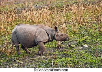 Indian One-horned Rhino - Large Indian one horned rhinoceros...