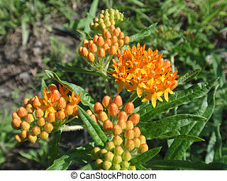 Indian Paintbrush (Butterfly weed) (Asclepias tuberosa)