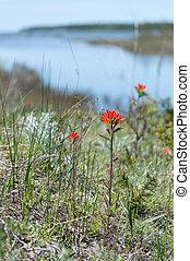 Indian paintbrush flowers along a river that runs to Lake Huron