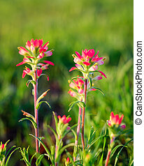 Indian Paintbrush Flowers Bathed in Early Morning Light