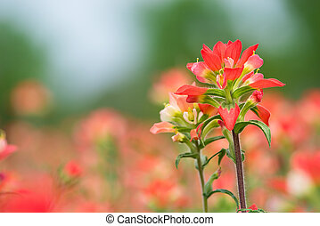 Indian Paintbrush wildflowers blooming on the spring meadow, closeup with natural green background