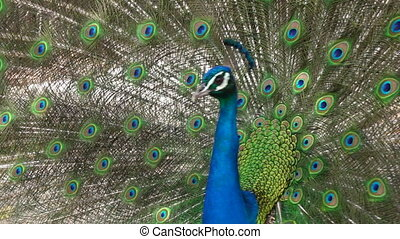 Indian peacock displays vibrant and colorful feathers - An...