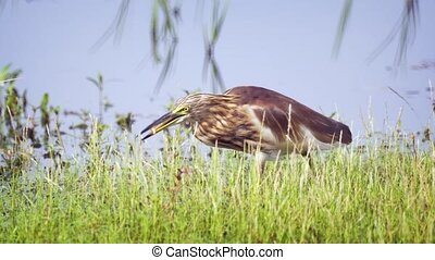 Indian Pond Heron Finds a Snack in the Shallow Water -...