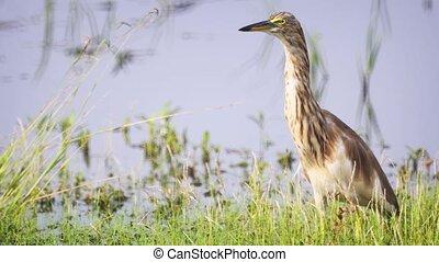Indian pond heron or paddybird (Ardeola grayii) on shore of...