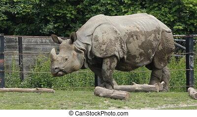 Indian Rhinoceros. - Indian Rhinoceros at Toronto Zoo,...