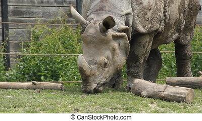 Indian Rhinoceros grazing. - Closeup of Indian Rhinoceros...