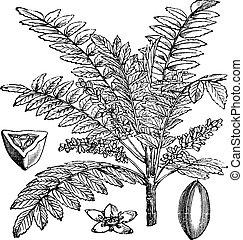 indian, salai, boswellia, serrata, ∥あるいは∥, 彫版, 型, ...
