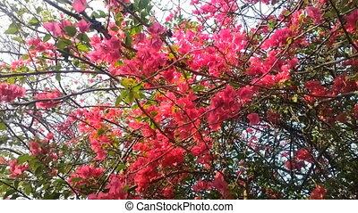 Indian spring. Flowering shrubs