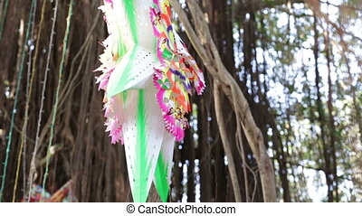 indian star hangs in banyan tree