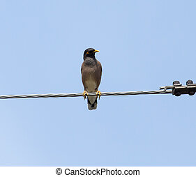 Indian starling on nature
