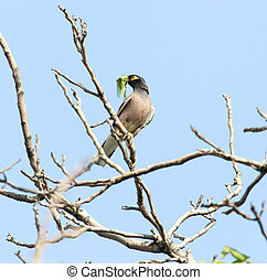 Indian starling on tree