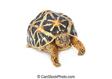 Indian Starred Tortoise eating on white background