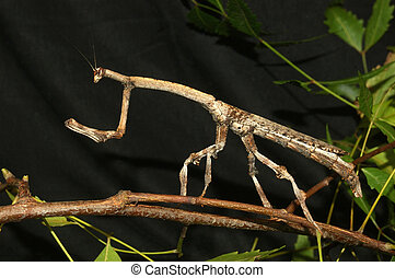 Indian stick insect - Brown stick insect from Tamil Nadu, ...
