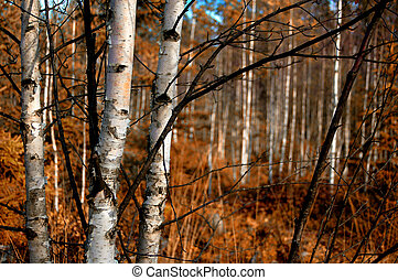 Indian Summer - Birch trunks closeup, focus on the 3 trees ...