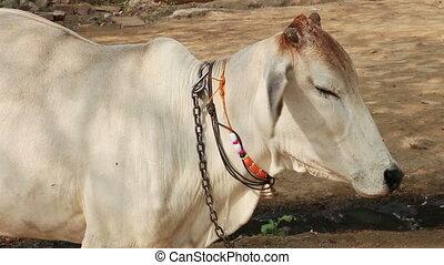 indian white cow portrait