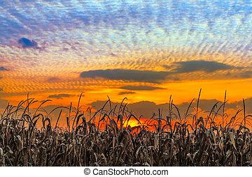 Indiana Sundown - Autumn cornstalks are backed by a vibrant...