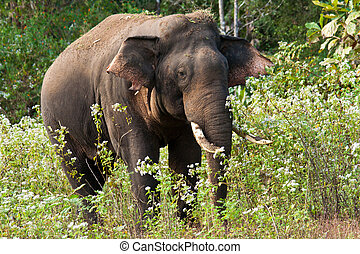 indiansk elefant