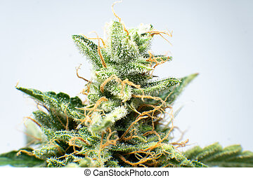 Indica flower. CBD THC in Pot. Macro trichomes cannabis. ...