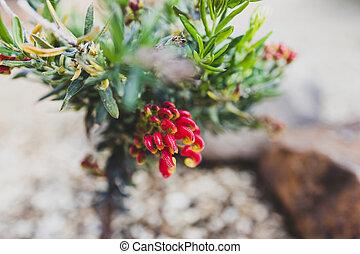 indigène, arrière-cour, rouges, extérieur, ensoleillé, grevillea, plante, australien