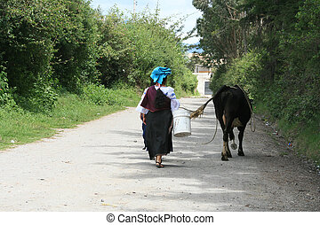 An indigenous woman walking down a road with a cow in Cotacachi, Ecuador