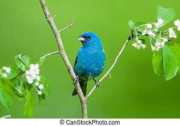 Indigo Bunting perched on a branch.