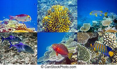 indio, peces, corales, ocean.