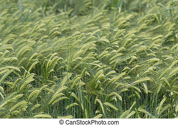 Individual barley in a field detail